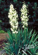 Yucca Adams Needle Filamentosa