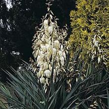 Yucca (Adams Needle) Glauca Perennial Seeds
