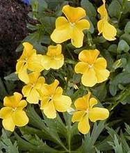 Viola Cornuta Lutea Splendens