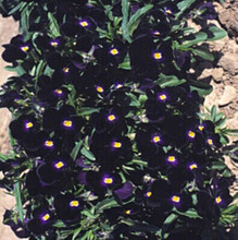 Viola Cornuta Bowles Black