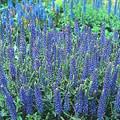 Veronica (Speedwell) Spicata Nana Blue Carpet Perennial Seeds