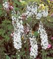 Veronica (Speedwell) Spicata Alba Perennial Seeds