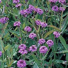 Verbena Rigida Perennial Seeds