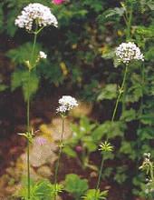 Valeriana (Valerian) Officinalis Perennial Seeds