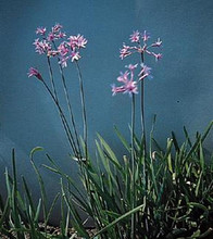 Tulbaghia Society Garlic Violacea John Rider