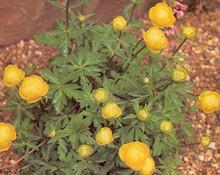 Trollius Globeflower Europeus