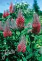 Trifolium Rubens Perennial Seeds