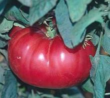 Watermelon Beefsteak Tomato