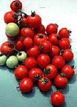 Washington Cherry Tomato