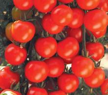 Sweet Baby Girl Tomato