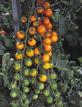 Sunsugar Tomato