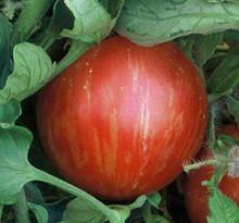 Mr Stripey Tomato