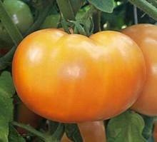 Mountain Gold Tomato