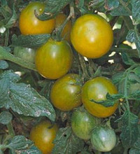 Green Grape Tomato