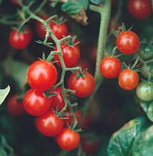 Currant Red Tomato