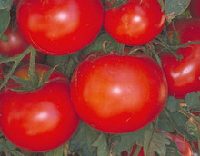 Celebrity Vfnt Tomato