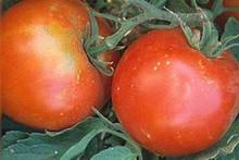 Tropic VFN Tomato