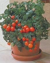 Patio F1 Tomato