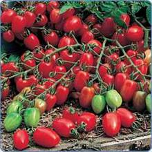 Grape Gabrielle Tomato