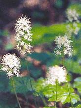 Tiarella Foamflower Polyphylla Filigran