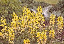 Thermopsis Caroliniana Perennial