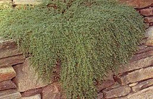 Herb Seeds - Thyme Mother Of