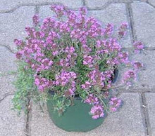 Herb Seeds Thyme Aromatic Seeds