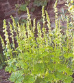 Tellima Grandiflora Perennial