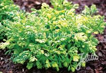 Tanacetum Matricaria  Parthenium Aurea Golden Moss Perennial Seeds
