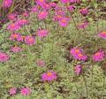 Tanacetum (Pyrethrum Types) Coccineum Juwa Seeds