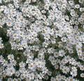Tanacetum Matricaria Types Niveum Jackpot Perennial Seeds