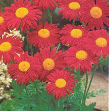 Tanacetum (Pyrethrum Types) Coccineum James Kelway Seed