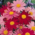 Tanacetum (Pyrethrum Types) Coccineum Double Mix Seeds