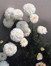 Tanacetum (Matricaria Types) Parthenium Santana White