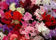 Sweet Pea Old Spice Mix Annual Seeds