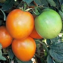 Sunray Tomato Seed
