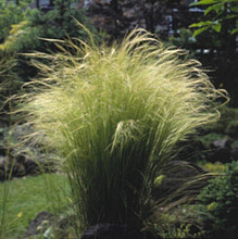 Ornamental Grass Seed - Stipa Tenuissima Angel Hair