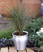 Ornamental Grass Seed - Stipa Arundinacea Pheasant Tails
