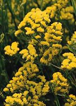 Statice Qis Yellow