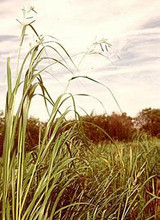 Ornamental Grass Seed - Spartina Pectinata