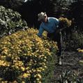 Herb Seeds - St Johns Wort