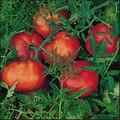 Silvery Fir Tree Heirloom Tomato