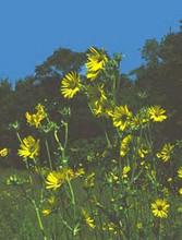 Silphium Laciniatum Perennial