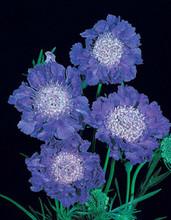 Scabiosa Caucasica Fama Deep Blue