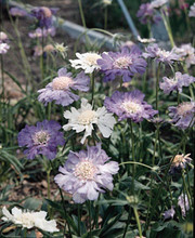 Scabiosa Caucasica Isaac House Hybrid