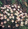 Saxifraga Mossy Species Mix