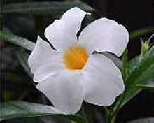 Mandevilla Chilean Jasmine