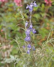 Salvia Sage Azurea