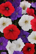 Petunia Shock Wave Volt Mix
