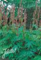 Rheum Palmatum Tanguticum Big Red
